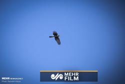 فلم/ دریائے کارون ميں مچھلی خور پرندے