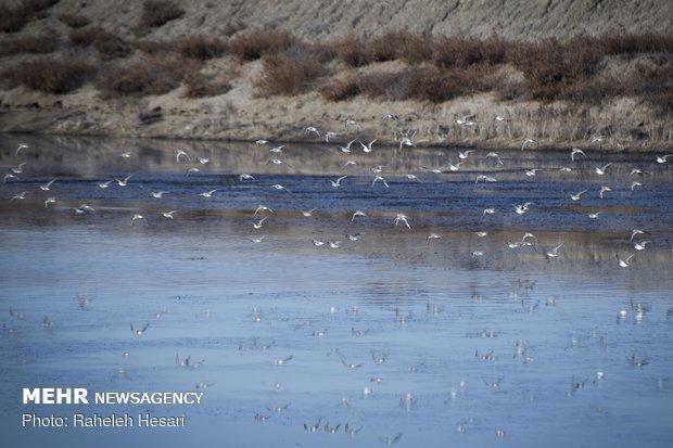 أسراب الطيور المهاجرة في محافظة كلستان