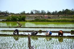 لغو ممنوعیت واردات برنج در فصل برداشت شیطنت است/ کشاورز را دلسرد میکنند