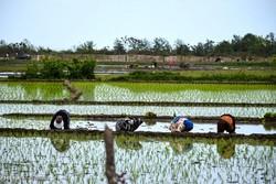 خاک مازندران سالم است/ تولید برنج ارگانیک