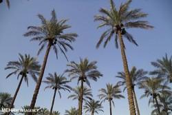 اجرای طرح نخلستان در ۳۴ هزار هکتار از باغات شهرستان دشتستان