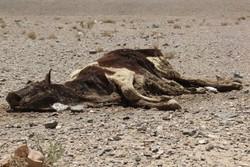 زمین مناسبی برای دفن بهداشتی لاشههای حیوانات در یزد نیاز است