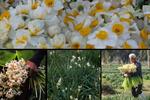 رقص نرگسها در پاییز/ کویرِ تشنه گل میرویاند