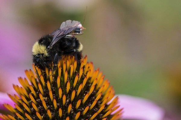 گردهافشانی زنبورعسل به افزایش تولید محصول باغی کمک می کند