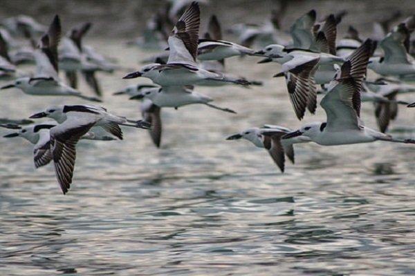 زمستان گذرانی ۱۳۴ هزار قطعه پرنده مهاجر در تالاب های گیلان