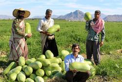 İran'ın güneyinde karpuz hasadı başladı