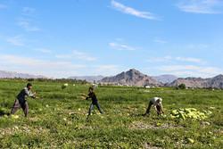 ۱۰۰درصد تعهد اشتغال در بخش کشاورزی استان قزوین محقق شد