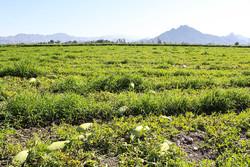 نفوذ سم به تن کشاورزی خراسان جنوبی/ حال خراب محصولات سالم