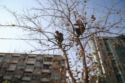 Winter pruning of trees in Tehran