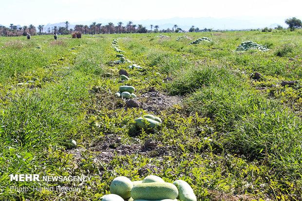 Harvesting watermelon for Yalda Night