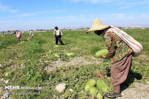 برداشت هندوانه شب یلدا از مزارع کشاورزی هشتبندی