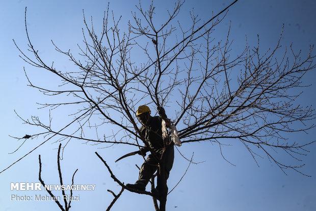 تقليم الاشجار في طهران