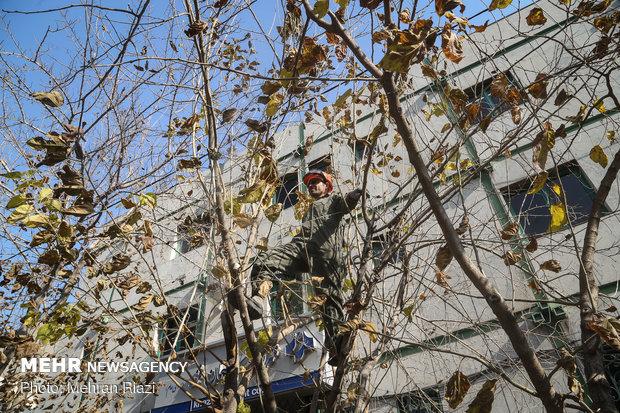 Winter pruning of trees in Tehran