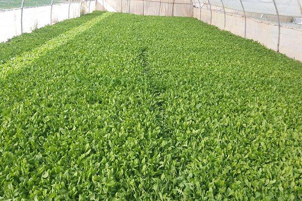 سالانه ۲۰۰ تن سبزیجات در هیرمند تولید می شود