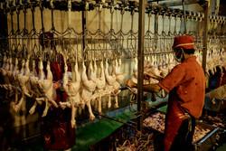 اشتغال ۷۰ نفر در کشتارگاه صنعتی طیور ایوانکی رقم خورد