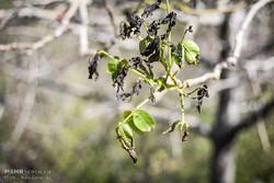 احتمال سرمازدگی محصولات کشاورزی در برخی مناطق استان کرمان
