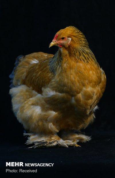 Türkiye'nin en bakımlı tavukları