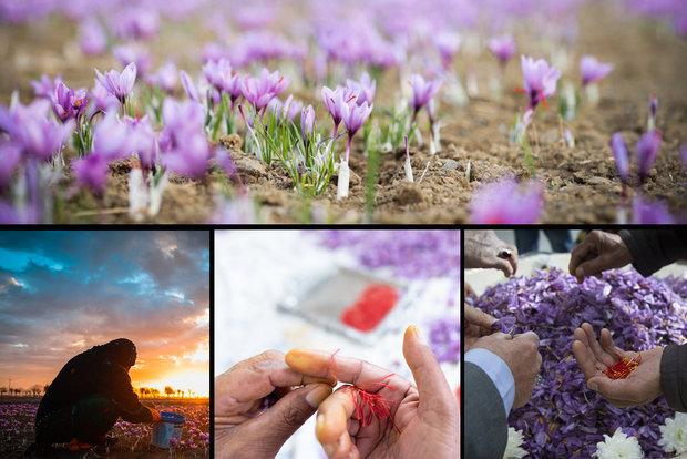 زعفران ایرانی به نام افغانستان/ زحمتی که از دوش رقیب برداشته شد