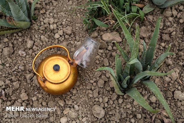 """زراعة نبتة """"ألوي فيرا"""" في """"بوشهر"""""""