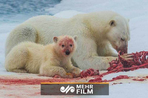 فلم/ قطبی ریچھ کا فوٹوگرافر پر حملہ