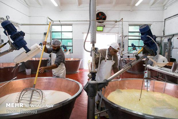 تولید پنیر سنتی ایتالیا توسط دامداران هندی