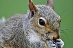 زنگ خطر برای انقراض سنجاب ایرانی/ حفاظت ویژه انجام می شود