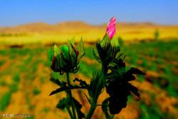 توسعه کشت گیاهان دارویی اولویت جهادکشاورزی زنجان در سال جدید است