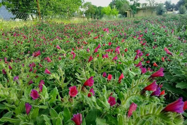 کشت گیاهان دارویی در بیش از ۳۰۰۰ هکتار از اراضی کرمانشاه