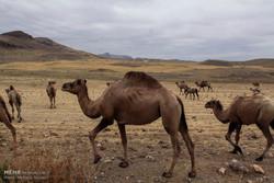 از شوری بیابانهای البرز تا تأثیر شترهای سرگردان بر پدیده ریزگرد