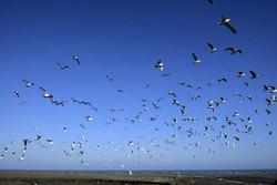 آغاز حضور پرندگان مهاجر در تالاب های همدان