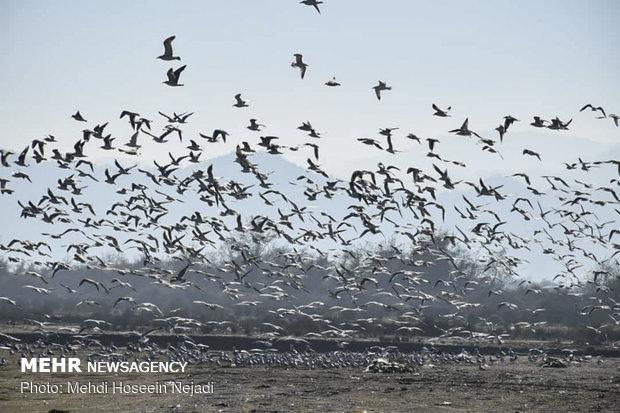 مهاجرت هزاران مرغ دریایی به سواحل آستارا