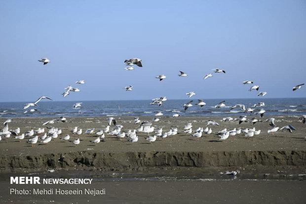 Migrating seagulls in Astara