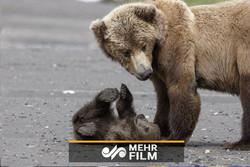 فوتبال بازی کردن خرس با دوربین فیلمبرداری