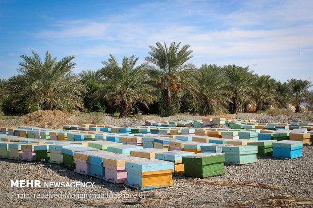 کوج زنبورداران مناطق مختلف کشور به هشتبندی