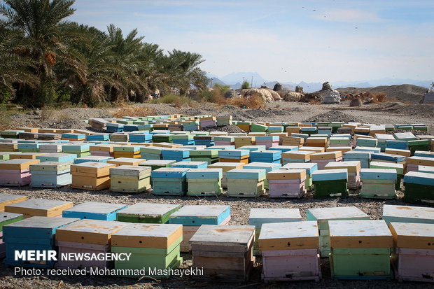 مهاجرت زنبورداران به مناطق ییلاقی زنجان آغاز شد