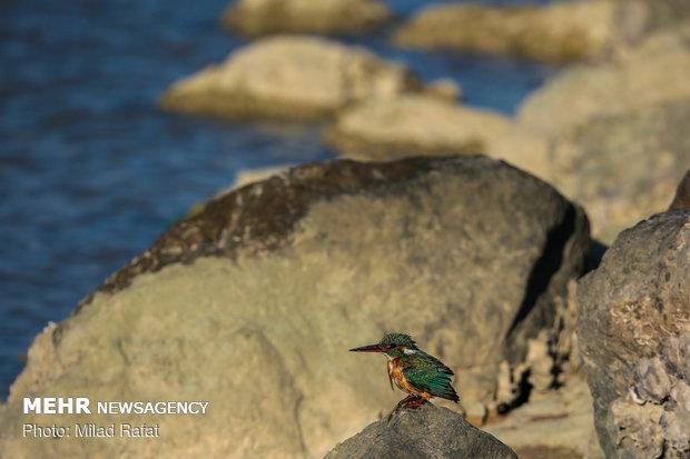 پرندگان مهاجر در خلیج نایبند