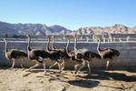مساعد وزير الجهاد الزراعي: إيران ثاني عالميًا وإنتاجها للحم النعام يقدر ثلاثة آلاف طن سنوياً