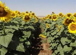 خرید بیش از ۱۳۰۰ تن دانه آفتابگردان در گلستان