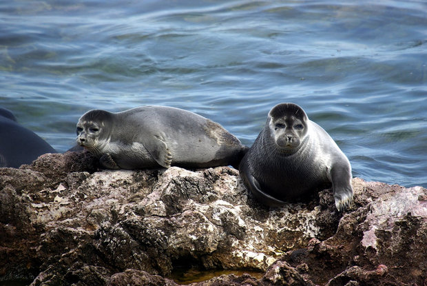 National plan for safeguarding Caspian seal drafted