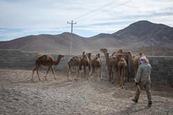 ۱۸ نفر شتر قاچاق در یزد توقیف شد