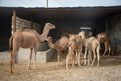 توقیف محموله یک میلیاردی شتر قاچاق در خراسان جنوبی