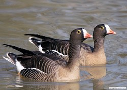 Over 8,000 lesser white-fronted geese wintering in northwestern Iran