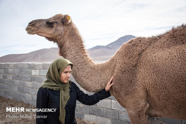 Deve çiftliğiyle kendi işini kuran İranlı kadın