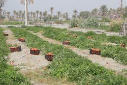 سفری بی حاصل برای کشاورزان/ لزوم حمایت از کشاورزی جنوب کرمان