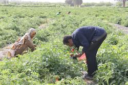 واگذاری ۲۰هزار هکتار از اراضی به شرکت شهرک های کشاورزی