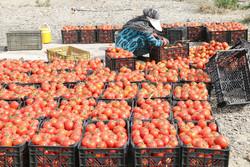 خرید توافقی ۲۰۰۰ تن گوجه فرنگی در همدان