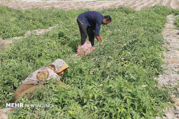 بیتوجهی کشاورزان به برنامههای کشت / ابزاری برای کنترل نداریم
