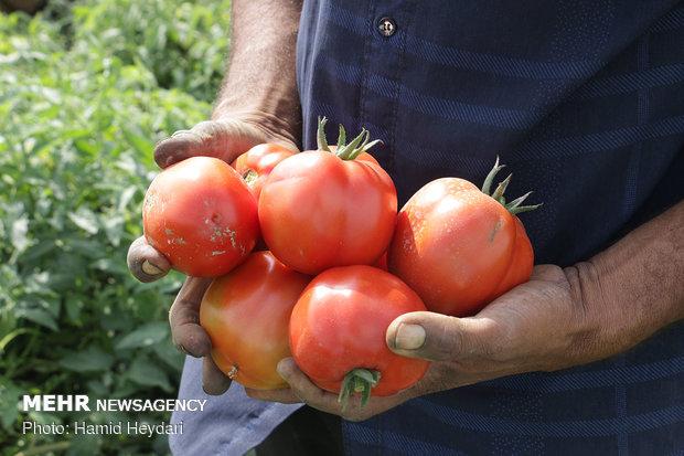 ردپای دلالان در بازار گوجه فرنگی گلستان/ورود مسئولان بیفایده بود