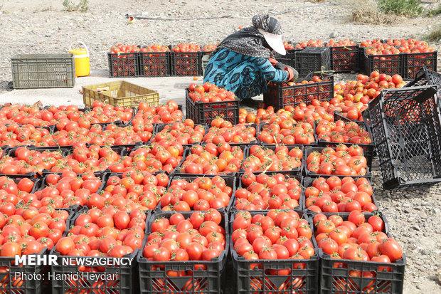 تولید گوجه فرنگی در ملارد از ۶ برابر متوسط کشوری هم عبور کرد