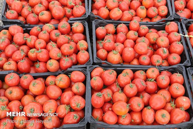 قیمت گوجه فرنگی به کیلویی ۸۰۰ تومان رسید